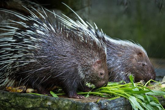 Malayan porcupine, (Hystrix brachyura)   eating food in the zoo.