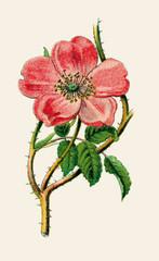 Alpine Rose..aus: Palitzsch: Pflanzenbuch, Esslingen, M¸nchen 1910, S. 53..