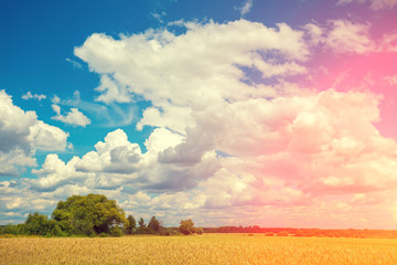 Wheat field with blue sky with sun and clouds. Beautiful nature