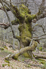 Centuries old chestnut tree on Ambroz valley. Amazing nature