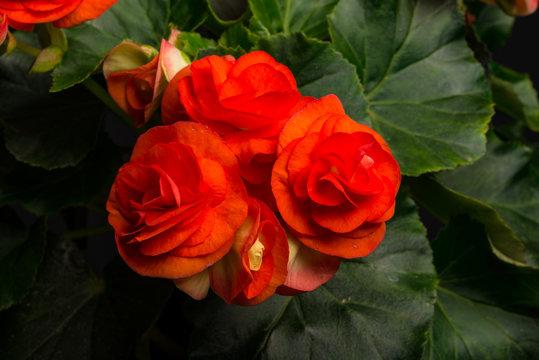 Begonia, Elatior-Hybriden IV
