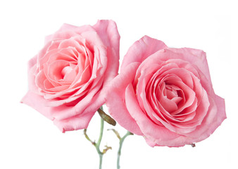 beuatiful roses bunch isolated on white background