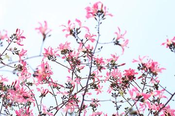 pink ceiba speciosa