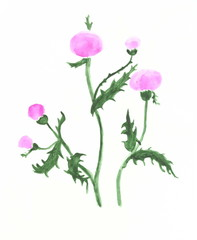 Drawing with watercolors: plant thistle with purple flowers.
