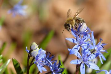 Bee on Violet Flowers