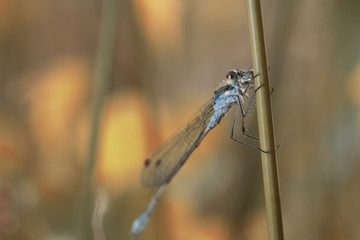 close up shot of a dragonfly resting on a blade of grass
