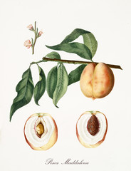 Isolated magdalena peach, peach tree leaves, peach flower and two fruit sections with kernel on white background. Old botanical detailed illustration By Giorgio Gallesio publ. 1817, 1839 Pisa Italy.