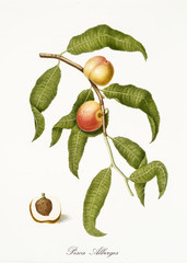 Two small peaches, peach tree leaves, and peach sections with kernel isolated on white background. Old botanical detailed illustration By Giorgio Gallesio publ. 1817, 1839 Pisa Italy.