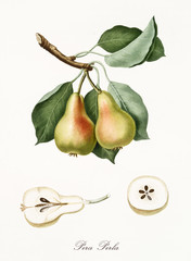 Pear, also known as Pearl Pear, pear tree leaves, and pear section isolated on white background. Old botanical detailed watercolor illustration By Giorgio Gallesio publ. 1817, 1839 Pisa Italy.