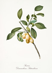 Plum, also known as damascena yellow plum, group of plums on branch with leaves isolated on white background. Old botanical detailed illustration by Giorgio Gallesio publ. 1817, 1839 Pisa Italy