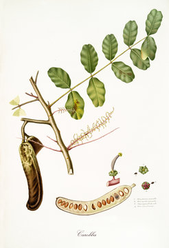 Carob, fig tree leaves and fruit section isolated on white background. Old botanical illustration realized in a detailed watercolor style by Giorgio Gallesio publ. 1817, 1839 Pisa Italy
