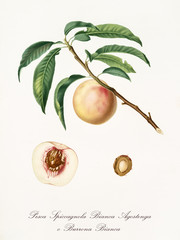 White peach, called Spiccagnola peach, on a single branch with leaves and isolated section of peach and kernel on white background. Old botanical illustration realized by Giorgio Gallesio on 1817,1839