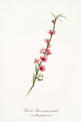 pink peach flowers on a single peach branch isolated on white background. Old botanical illustration realized with a detailed watercolor by Giorgio Gallesio on 1817, 1839