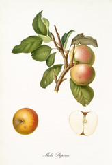 Apple, called Pupina apple, on a single branch with leaves and isolated single apple section on white background. Old botanical illustration realized by Giorgio Gallesio on 1817, 1839