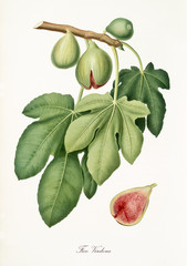 Fig, called Verdone fig, on a single branch with leaves and isolated single fig section on white background. Old botanical illustration realized by Giorgio Gallesio on 1817, 1839