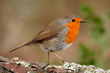 Pretty bird with a nice red plumage