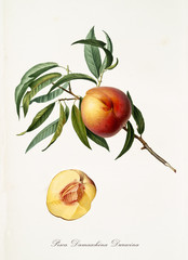 Peach, called Damaschina Duracina Peach, on a single branch with leaves and isolated single peach section on white background. Old botanical illustration realized by Giorgio Gallesio on 1817, 1839