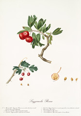 Red azarole fruit on a single bended branch and detail of a single fruit with its section and kernel.Old botanical illustration realized by Giorgio Gallesio on 1817, 1839
