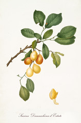 Yellow Plum, called summer damaschina plum, on a single branch with leaves and isolated single peeled plum on white background. Old botanical illustration realized by Giorgio Gallesio on 1817, 1839