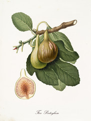 Fig, called portuguese fig, on its single branch with fig leaves and single fruit section on white background. Old botanical detailed illustration realized by Giorgio Gallesio on 1817, 1839
