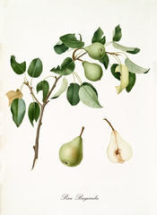 Green pears, called liar pears, on their single branch with leaves and isolated single fruit section on white background. Old botanical illustration realized by Giorgio Gallesio on 1817, 1839
