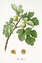 Couple of figs on their branch with fig leaves and section of a single fruit isolated on white background. Old botanical detailed illustration watercolor by Giorgio Gallesio on 1817, 1839