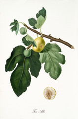 Fig, called Albo fig, on its single branch with fig leaves and isolated single fruit section on white background. Old botanical detailed illustration realized by Giorgio Gallesio on 1817, 1839