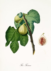 Fig, called Trojan fig, on its single branch with fig leaves and isolated single fruit section on white background. Old botanical detailed illustration realized by Giorgio Gallesio on 1817, 1839