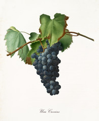 Black grape hanging from part of vine branch with leaves. All the elements are isolated over white background. Old detailed botanical illustration by Giorgio Gallesio published in 1817, 1839