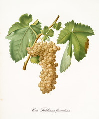 White grape hanging from part of vine branch with leaves. All the elements are isolated over white background. Old detailed botanical illustration by Giorgio Gallesio published in 1817, 1839