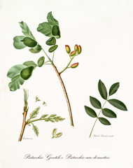 pistachio branch with leaves and other botanical elements. All composition is isolated over white background. Old detailed botanical illustration by Giorgio Gallesio published in 1817, 1839