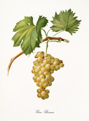White grape hanging from part of vine branch with leaves. Elements are isolated over white background. Old detailed botanical illustration by Giorgio Gallesio published in 1817, 1839