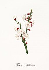 White and purple apricot flowers on their green branch. Single element, isolated on white background. Old detailed botanical illustration by Giorgio Gallesio published in 1817, 1839