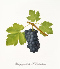 Succulent black grape hanging from part of vine branch with leaves. Elements are isolated over white background. Old detailed botanical illustration by Giorgio Gallesio published in 1817, 1839