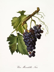 single vine branch with a succulent black grape hanging from it. Elements isolated over white background. Old detailed botanical illustration by Giorgio Gallesio published in 1817, 1839