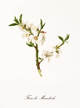 White almond tree flowers on a single branch. Element isolated on white background. Old detailed botanical illustration by Giorgio Gallesio published in 1817, 1839