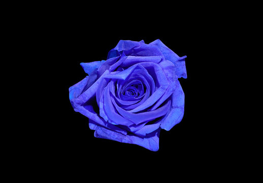 Blue rose flower isolated on black background. Top view.