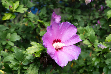 beautiful violet and purple hibiscus flower after the rain