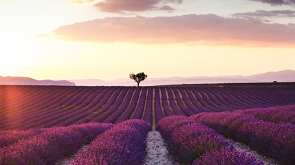 Beautiful landscape of lavender fields at sunset with dramatic sky.