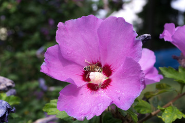 beautiful violet and purple hibiscus flower with insect full of pollen