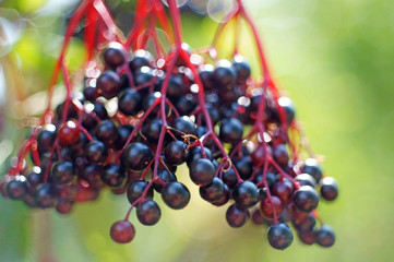 closeup of blue elderberries