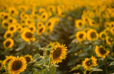 The summer field of the blossoming sunflowers