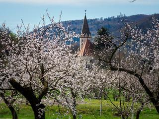 Marillenblüte (Aprikosenblüte) in der Wachau, Österreich