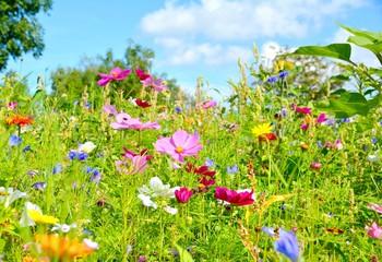 Blumenwiese - Sommerblumen - Wildblumen