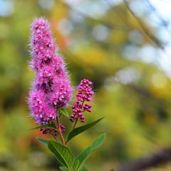 spiraea douglasii flower