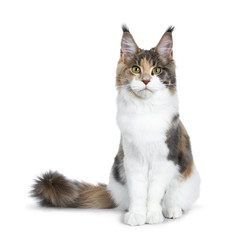 Pretty Calico Maine Coon cat girl sitting straight up with tail beside body, looking into lens isolated on white background