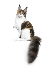 Pretty Calico Maine Coon cat girl sitting side ways with tail hanging over edge and one paw lifted in air, looking into lens isolated on white background