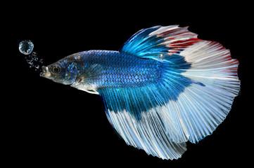 Movement of siamese fighting fish