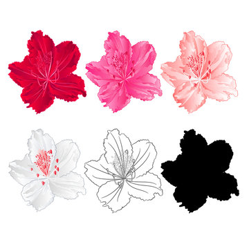 Flower rhododendron mountain shrub red,pink, light pink, white , outline and silhouette on a white background  vintage bloom ten vector illustration editable hand draw