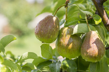 ripe pear, pear tree. William Bon Chretian pears ripening on the tree. A pair of ripe pears on the branches.
